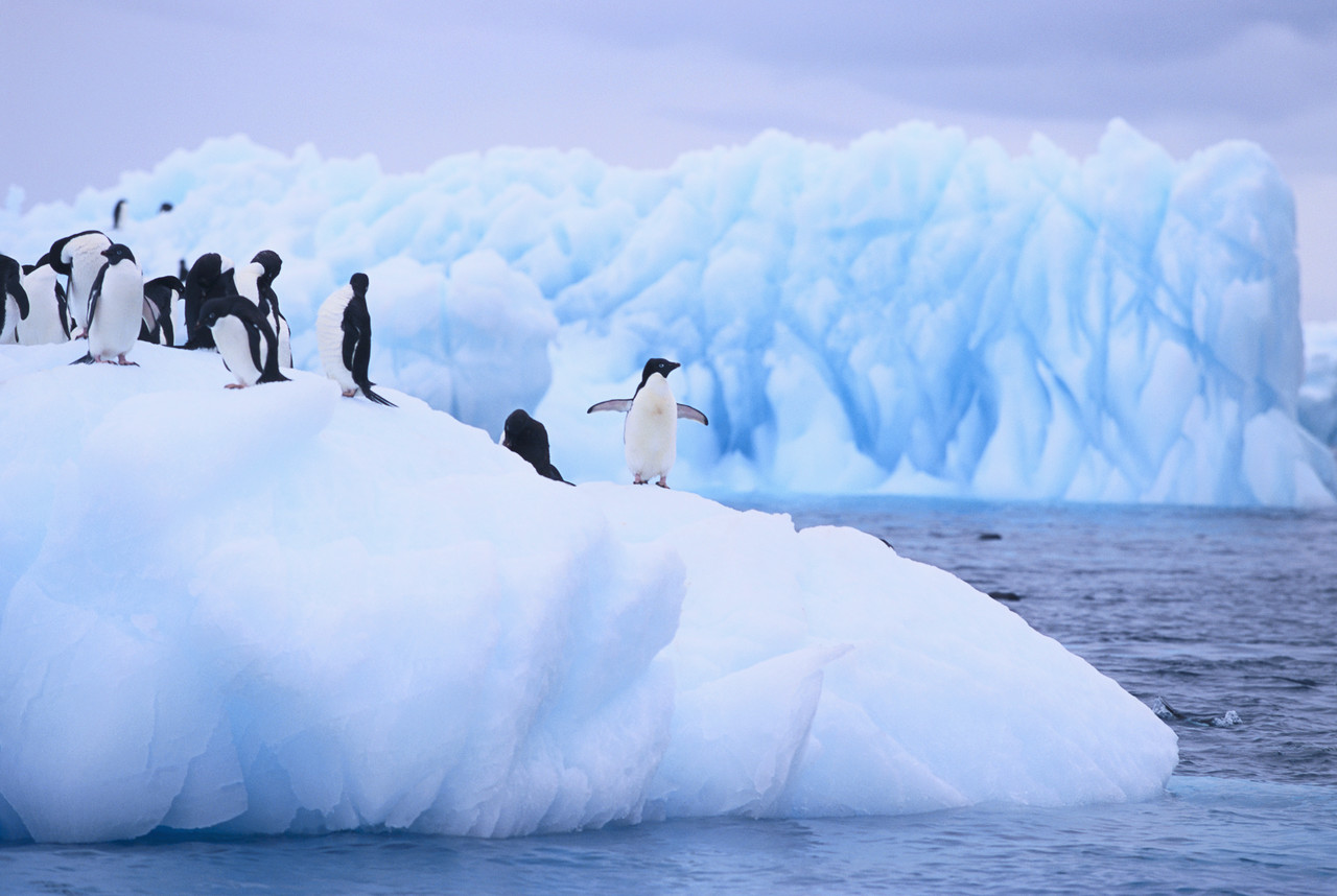 Adelie Penguins Clustered on an Iceberg